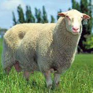 خوراک گوسفند پرواری-سناپالیز